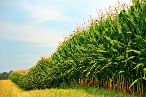BT Corn: A Golden Miracle (Olivia McKee)